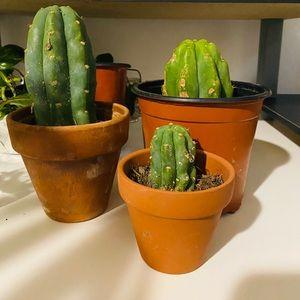 San Pedro cactus cuttings (small)